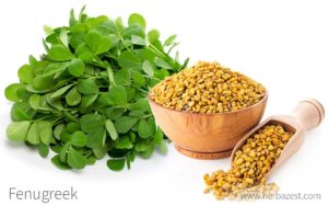 Fact of the Day: Fenugreek and lactation - The L A